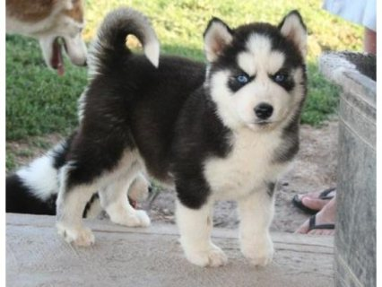Siberian husky cute for sale