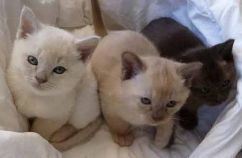 Pure Bred Burmese kittens Ready For Good Homes Now
