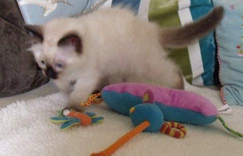 Ragdol Kittens for Nice Family