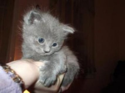 Pedigree Scottish Folds Kittens For Sale
