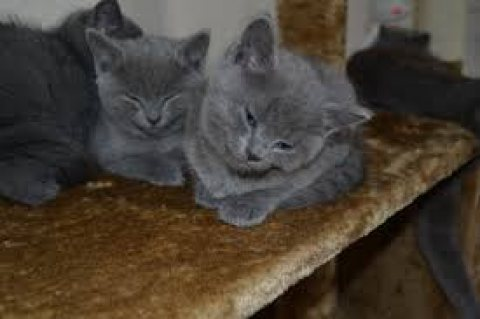 Male and female Russian blue kittens ready for sale,