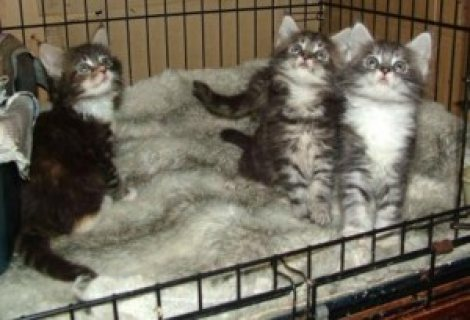صور Cute male and female Maine Coon Kittens for sale /.././/. 1
