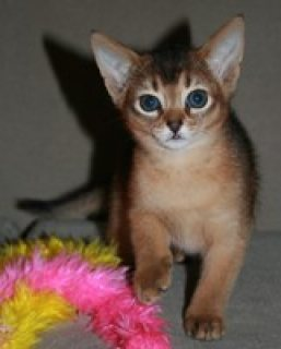 MALE AND FEMALE ABYSSINIAN KITTENS FOR SALE.CONTACT US BACK FOR