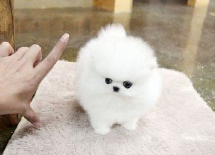 Teacup Pomeranian puppies,I have 3 adorable Pomeranian puppies