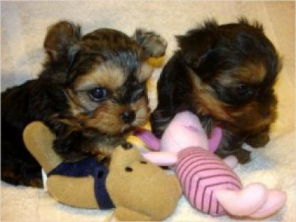 Male and Female Yorkshire Terrier Pups Available for sale/./../