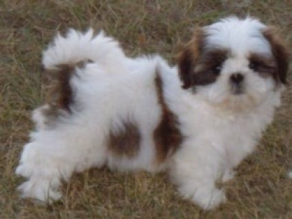 We have Both Male and Female Teacup Shih Tzu Puppies for Adoptio