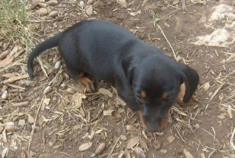 Male and female Dachshund puppies for sale.