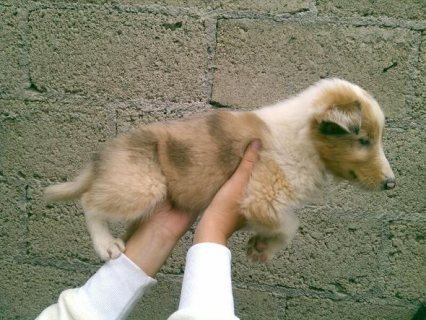 Buy rough collie puppies