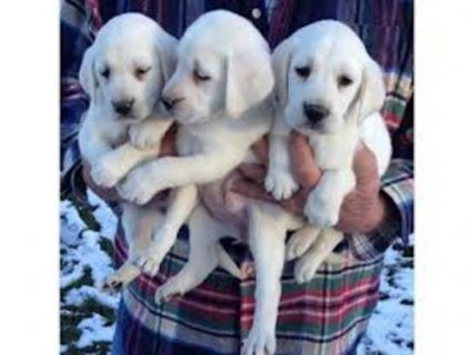 Three puppies of Labrador Retriever Healthy available