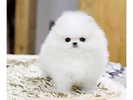 Good gift and affectionate pomeranian puppies