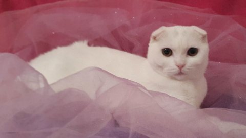 Scottish_Fold kittens available for Adoption