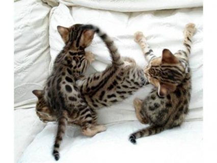 Gift registered bengal kittens for adoption