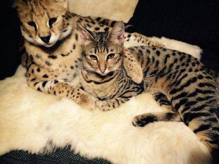 F4 Savannah kitten for Adoption