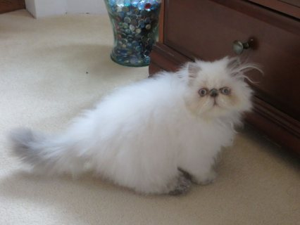 Beautiful Male And Female Himalayan kitten for Adoption