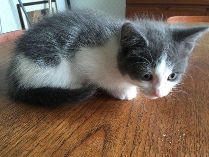 mart Tica register Ragdoll kittens for Adoption