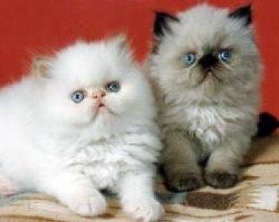 Himalayan Kittens for adoption Contact (jasonblere9@>g>m>a>i>l.c