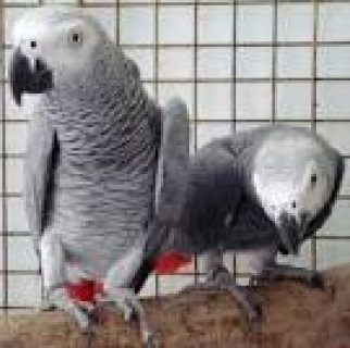African grey parrots for available here