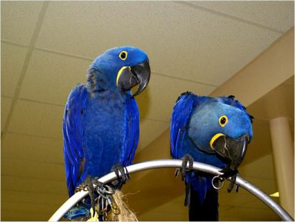صور Pair Hyacinth Macaw Parrots for rehoming 1