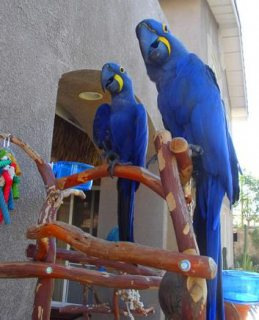 Talking Pair Of Hyacinth Macaw Parrots