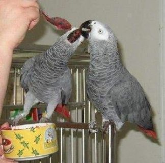 African Grey parrots are now ready for good home