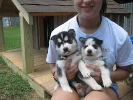 Nice Siberian Husky Puppies For Sale here