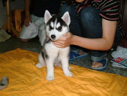 Siberian Husky Puppies available.