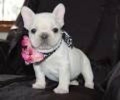 صور French Bulldog Puppies Available here 1