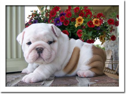 Gorgeous English Bulldog Puppies for adoption. Please contact us