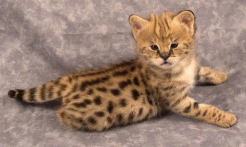 BENGAL TIGER KITTEN FOR ADOPTION !!GOOD HOME ONLY!!