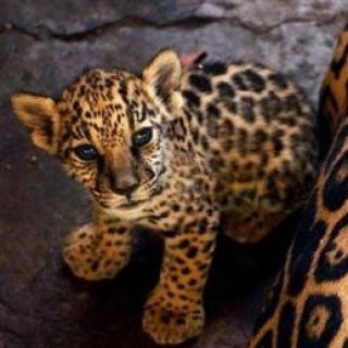 صور jags cubs for sale  1