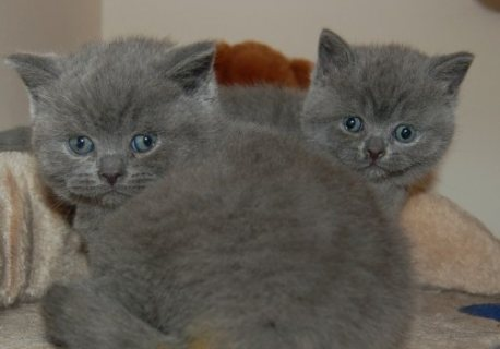 صور two British kittens ready to go 1
