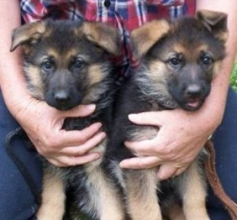 Registered German Shepherd Puppies For Re-Homing