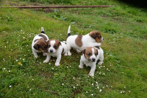 I have a beautiful litter of 8 mini jack Russells for sale