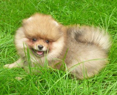 Free Pomeranians Puppies