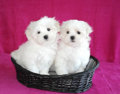my cute and adorable home trained Maltese puppies(Adoption)