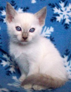 Siamese kittens for sale...