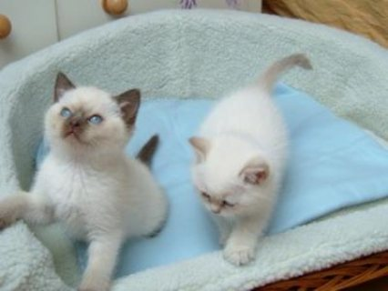 Cute Ragdoll Kittens for Re homing....