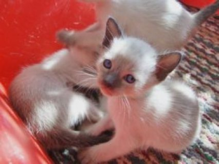 Siamese kittens for sale....