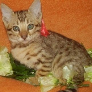 Cute Bengal Kittens for Sale...