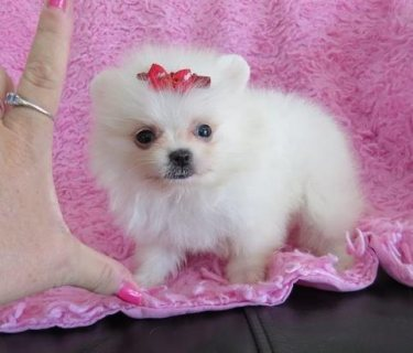 Adorable Pedigree Pomeranian Puppies for Sale..