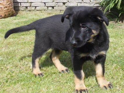 Cute Male and Female German Shepherd Puppies for Adoption...