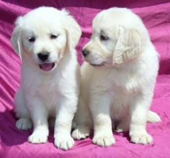 Adorable Golden Retriever Puppies for adoption..