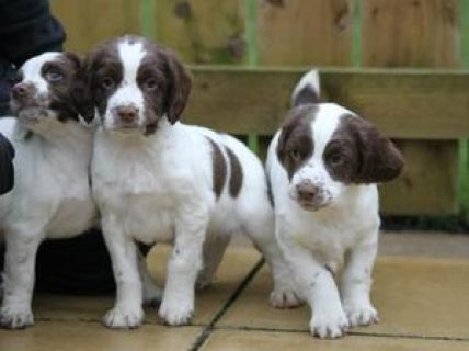 English Springer Spaniel puppies for Adoption..