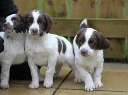 English Springer Spaniel puppies for Adoption..