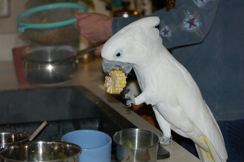 4 Months old Babies Male And Female Umbrella Cockatoos for sale