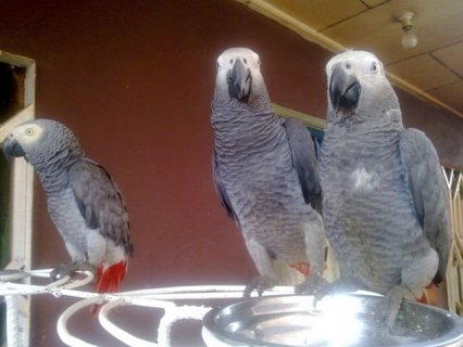 Friendly African grey Parrots Ready Now for sale