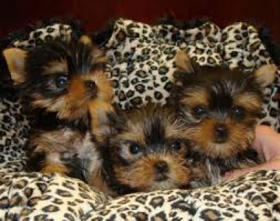 Cute Tcup yorkie puppies for sale