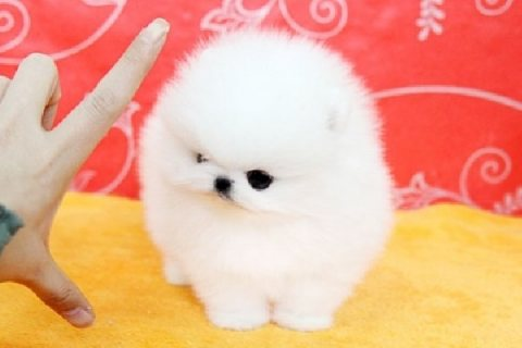 Precious Male and female Micro White TeaCup Pomeranian Puppies F