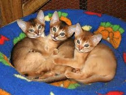 Male and female Abyssinian Kittens For Sale ../././/.
