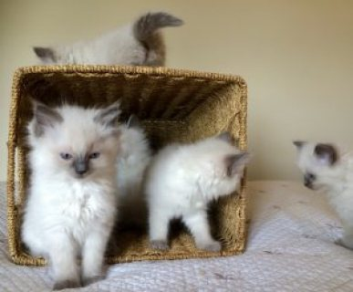 Ragdoll kittens for sale/.././